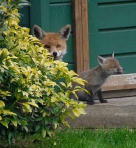 foxbush2