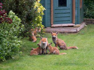 cubs lawn